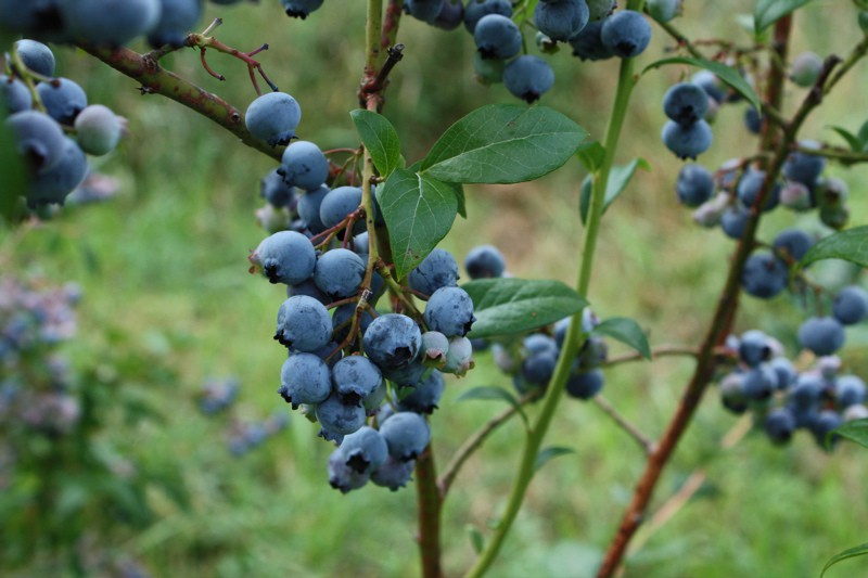 Fertilizer For Blueberry Bushes