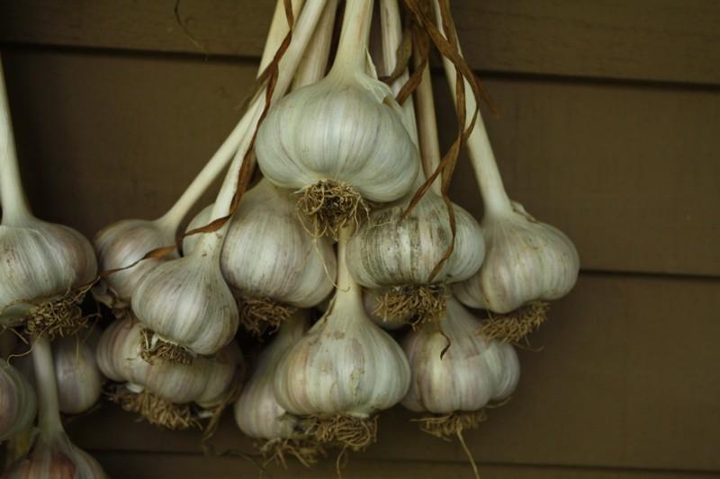How To Grow Garlic Growing Garlic Garden Garlic Garlic