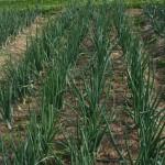 Onions plants in a garden