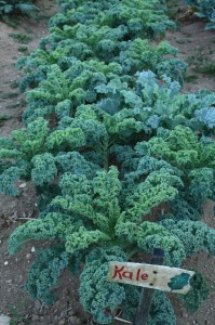 Green kale in the garden