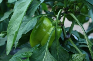 Green sweet pepper on the plant