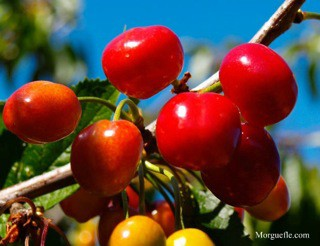 How To Grow Cherries Growing Adn Caring For Cherry Trees