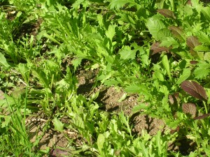 Mesclun mix in the garden