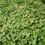 Sweet potato vines growing on the ground