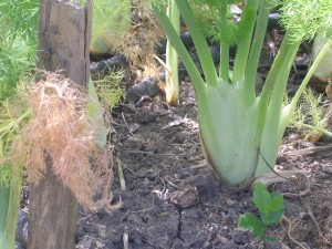 Florence Fennel plant in the ground