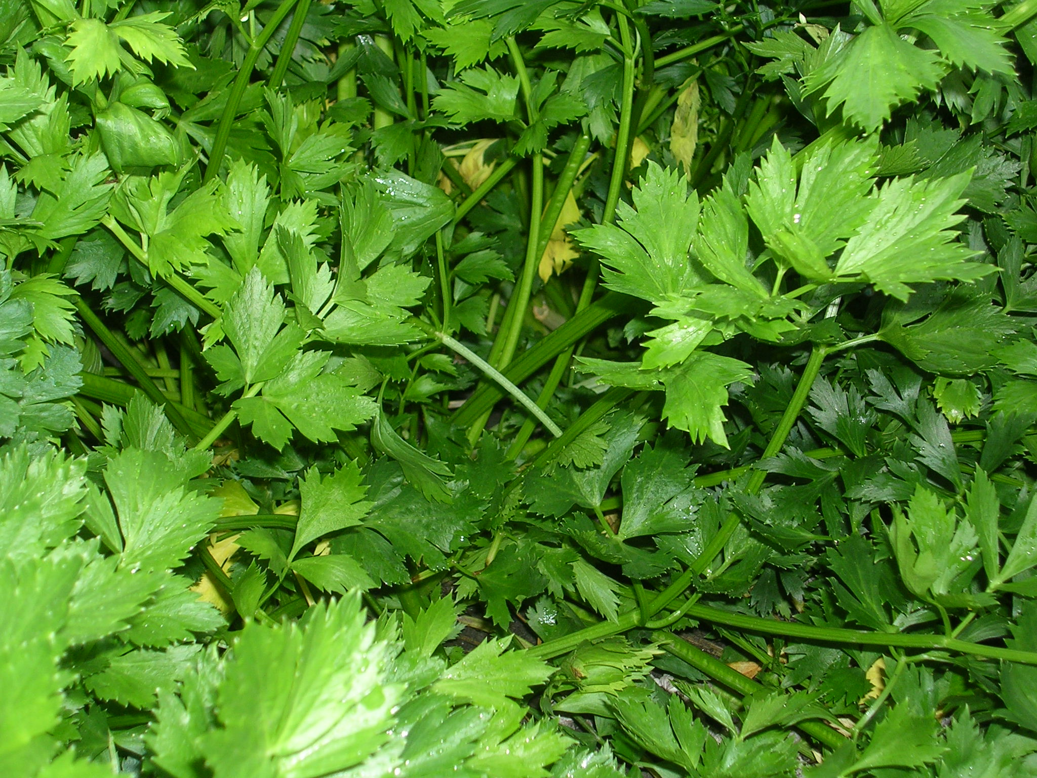 How to Grow Parsley -Growing Parsley -Garden Parsley ...