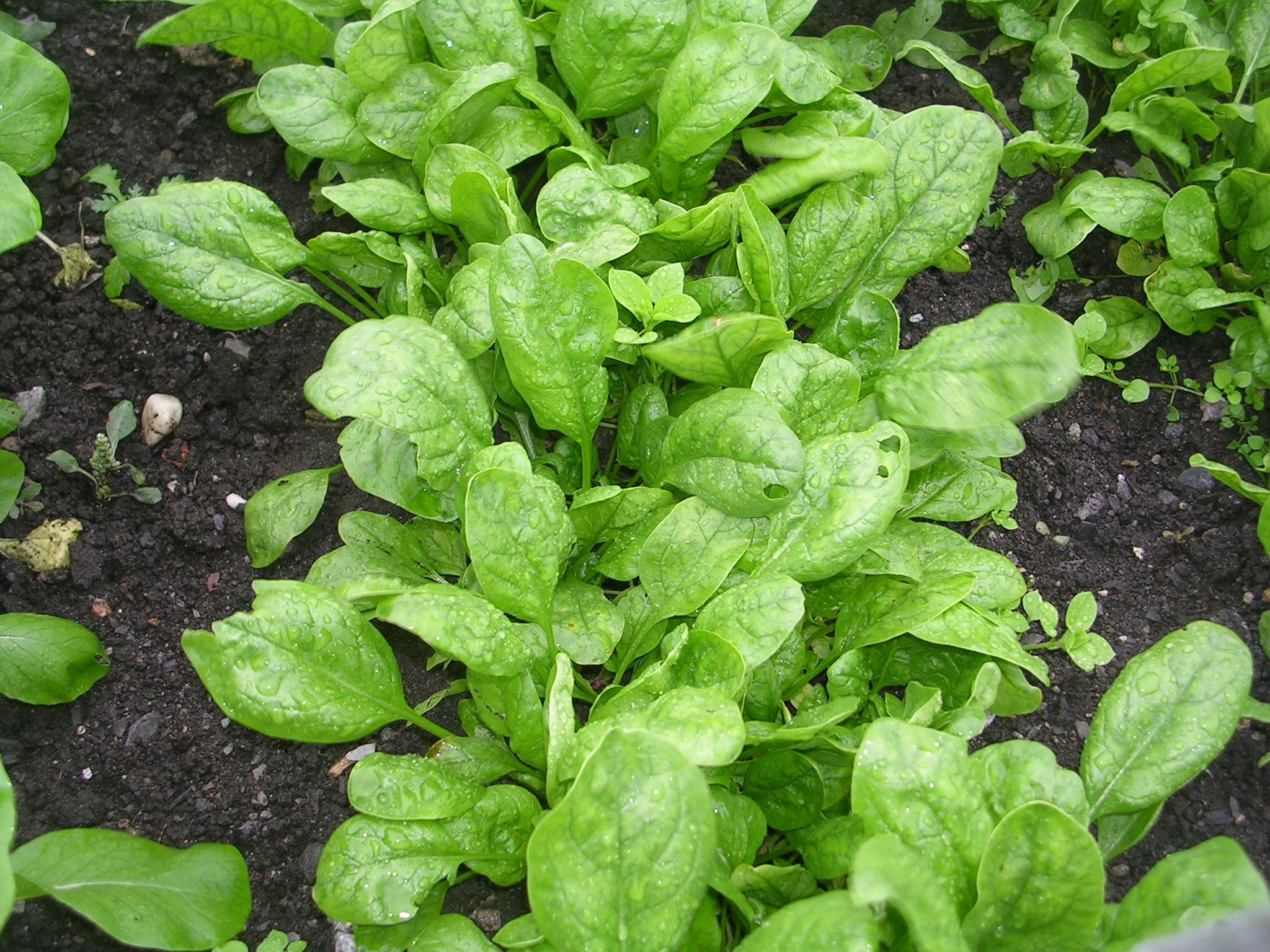 """Picture of 2 (TWO) Live Spinach aka Spinacia oleracea Vegetable Plant Fit 4"""" Pot"""
