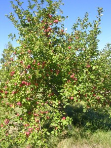 Apple tree with apples on it