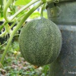 Young melon on the vine