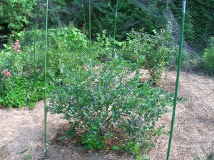 Blueberry bush cover with netting