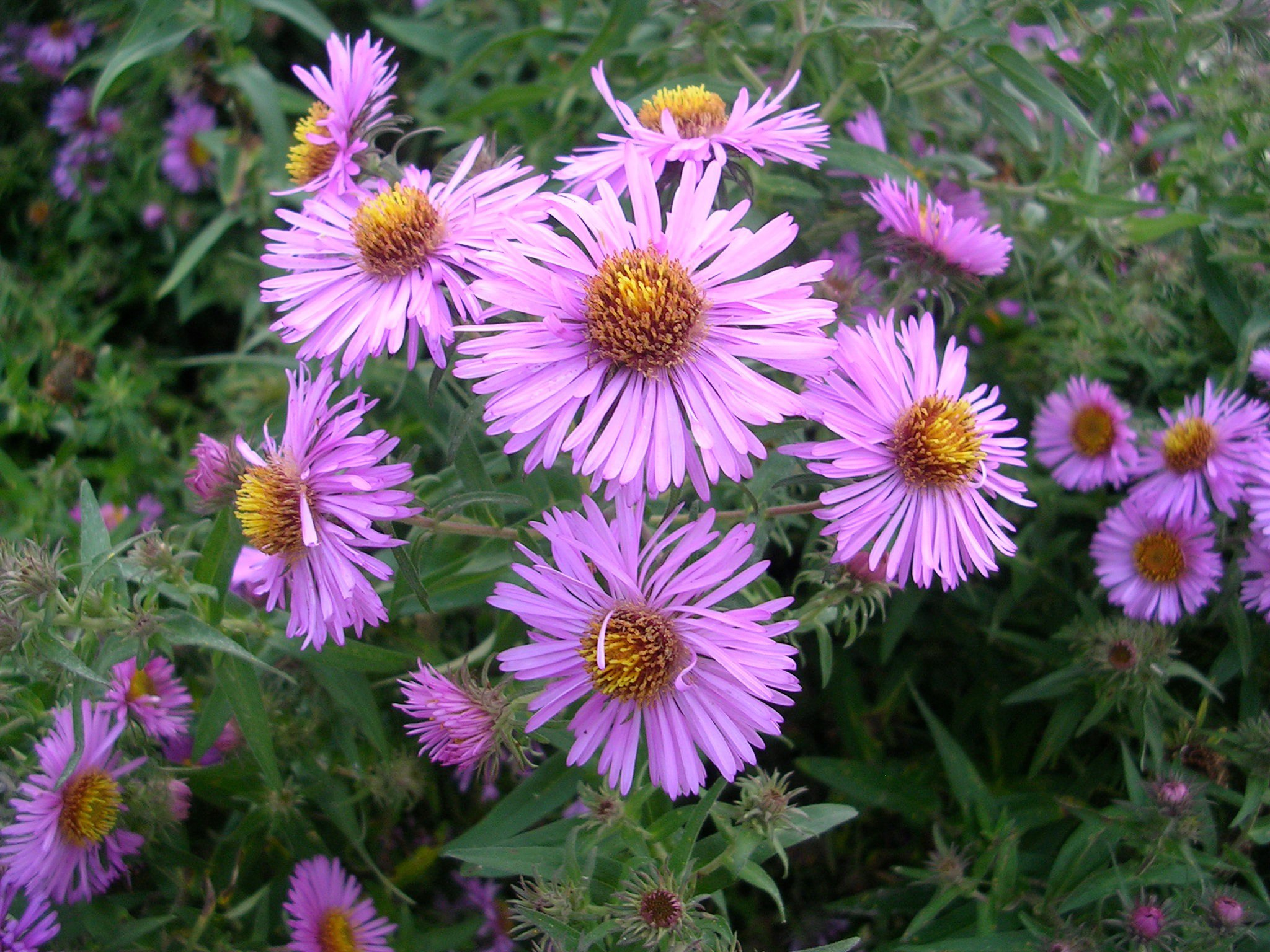 how to grow asters gardening asters growing asters, Beautiful flower