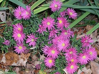 How to grow asters growing and caring for asters purple aster flowers mightylinksfo
