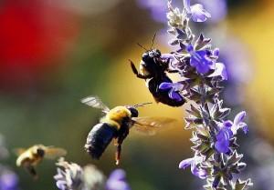 Honey bees on a flower