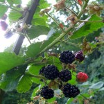 Blackberries on the cane