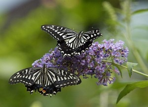 Butterflies on a butterfly bush