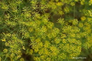 Dill Flowers In Bloom