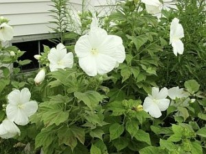 White perennial hibiscus flower