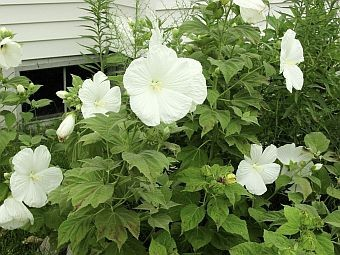 How to grow hardy hibiscus growing and caring for hardy hibiscus white perennial hibiscus flower mightylinksfo