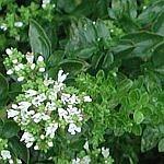 Oregano growing in garden