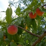 Peach fruits on tree