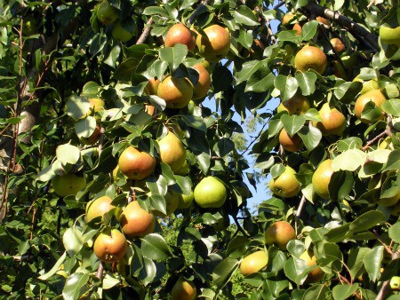 How To Grow Pears Growing And Caring For Pears