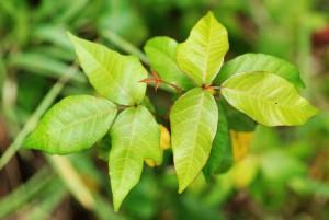poison-ivy-