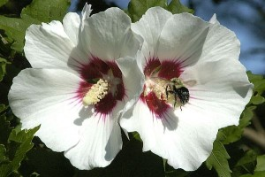 White rose of Sharon flowers