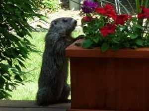 Woodchuck looking at a container of flowers