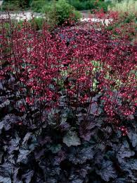 How To Grow Coral Bells Growing Coral Bells