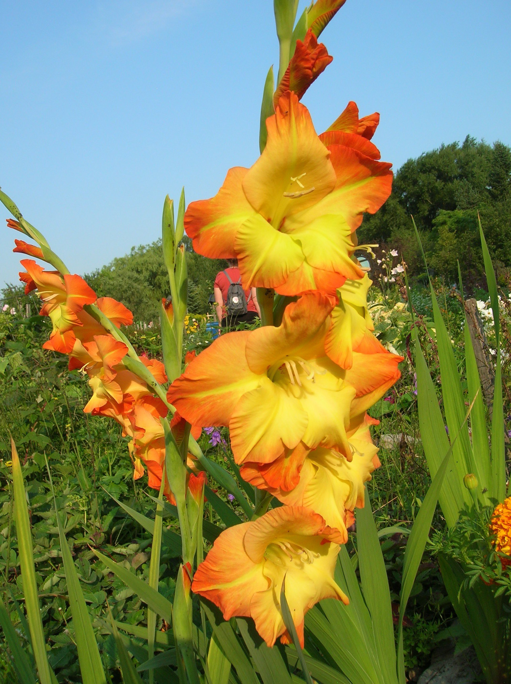 Gladiolus - planting and caring for bright floral arrows 87