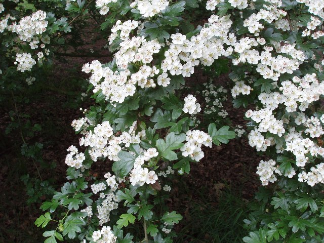 How to grow hawthorn growing hawthorn trees in the landscape for Indian food hawthorne