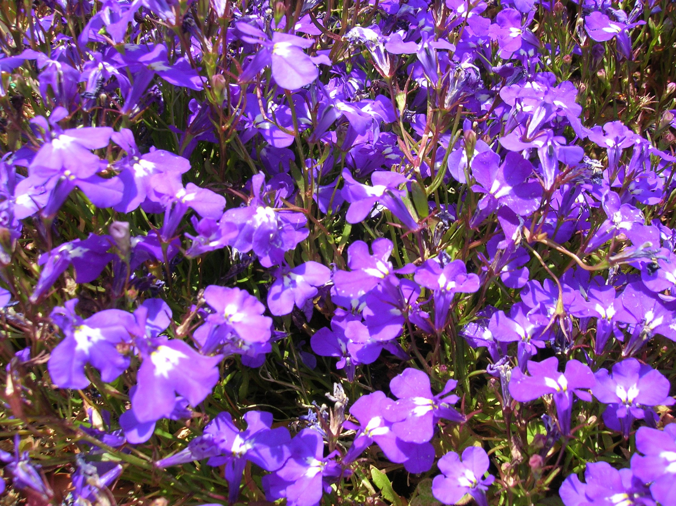 How to grow lobelia growing and caring for lobelia lobelia erinus lobelia izmirmasajfo