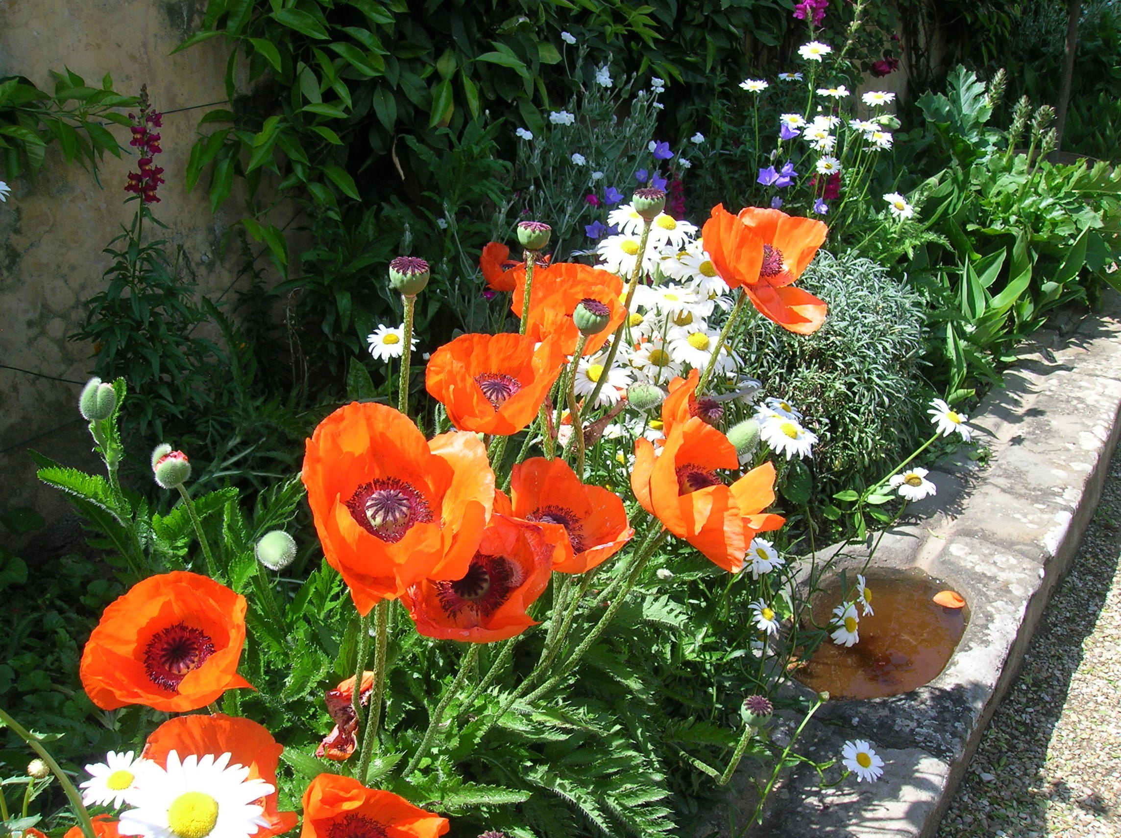 How to grow oriental poppies growing and caring for oriental poppies papaver orientale orientalpoppy mightylinksfo