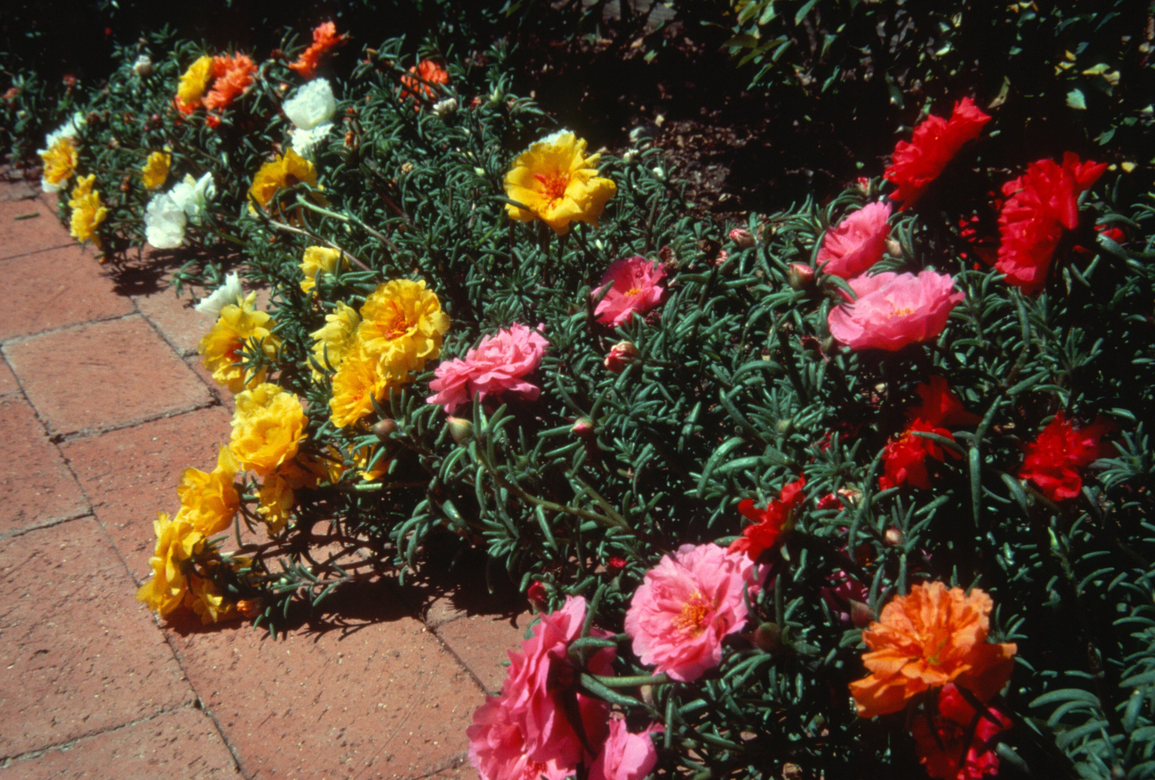 How to grow moss rose gardening moss rose growing portulaca - When to plant roses ...
