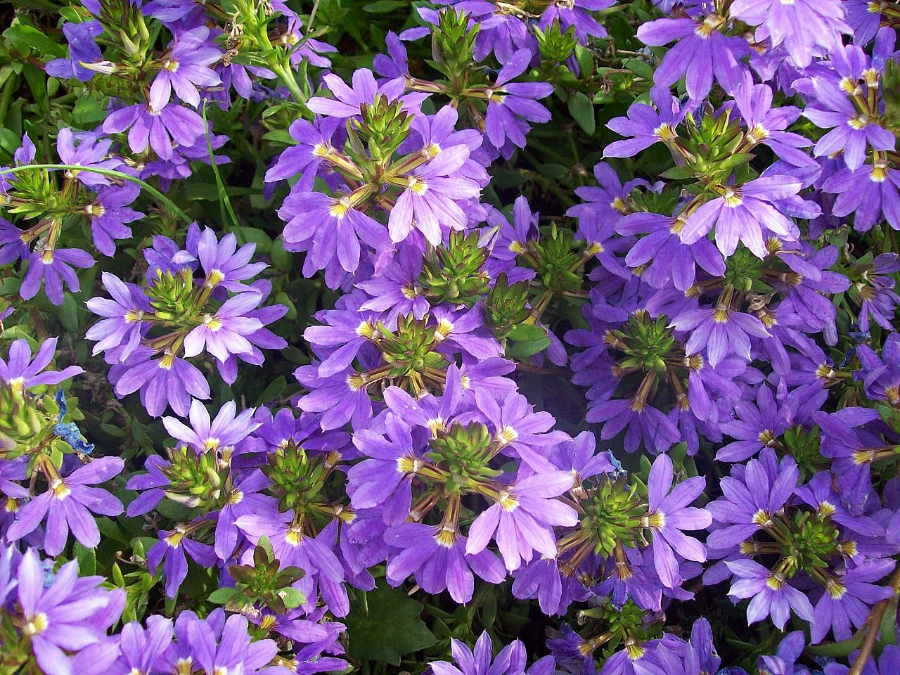 How to grow fan flower gardening fan flower growing fan flower scaevola aemula scaevola aemula fcherblume izmirmasajfo