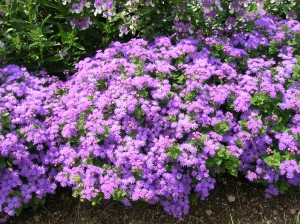How to Grow Ageratum gardening ageratum growing