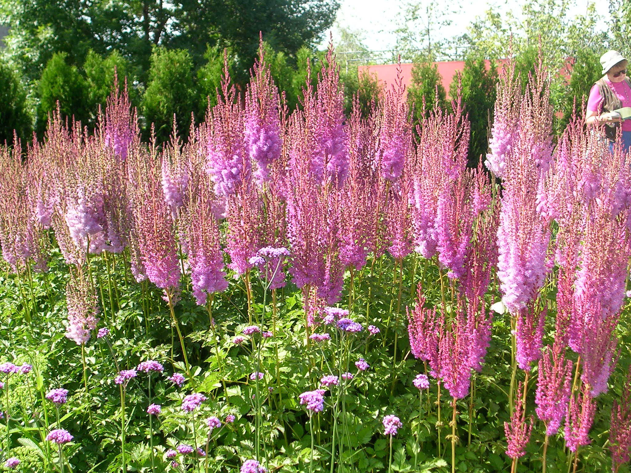 How To Grow Astilbe Growing And Caring For Astilbe Flowers