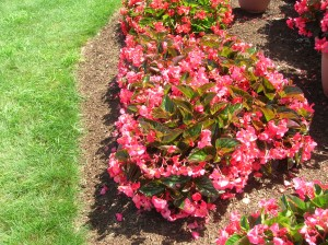 How To Grow Begonias Grow Wax Begonias And Their Care