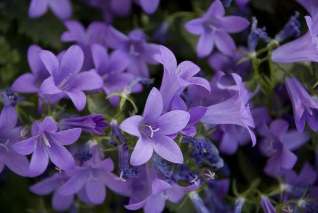 Image result for bell flower