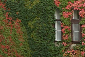 grow boston ivy