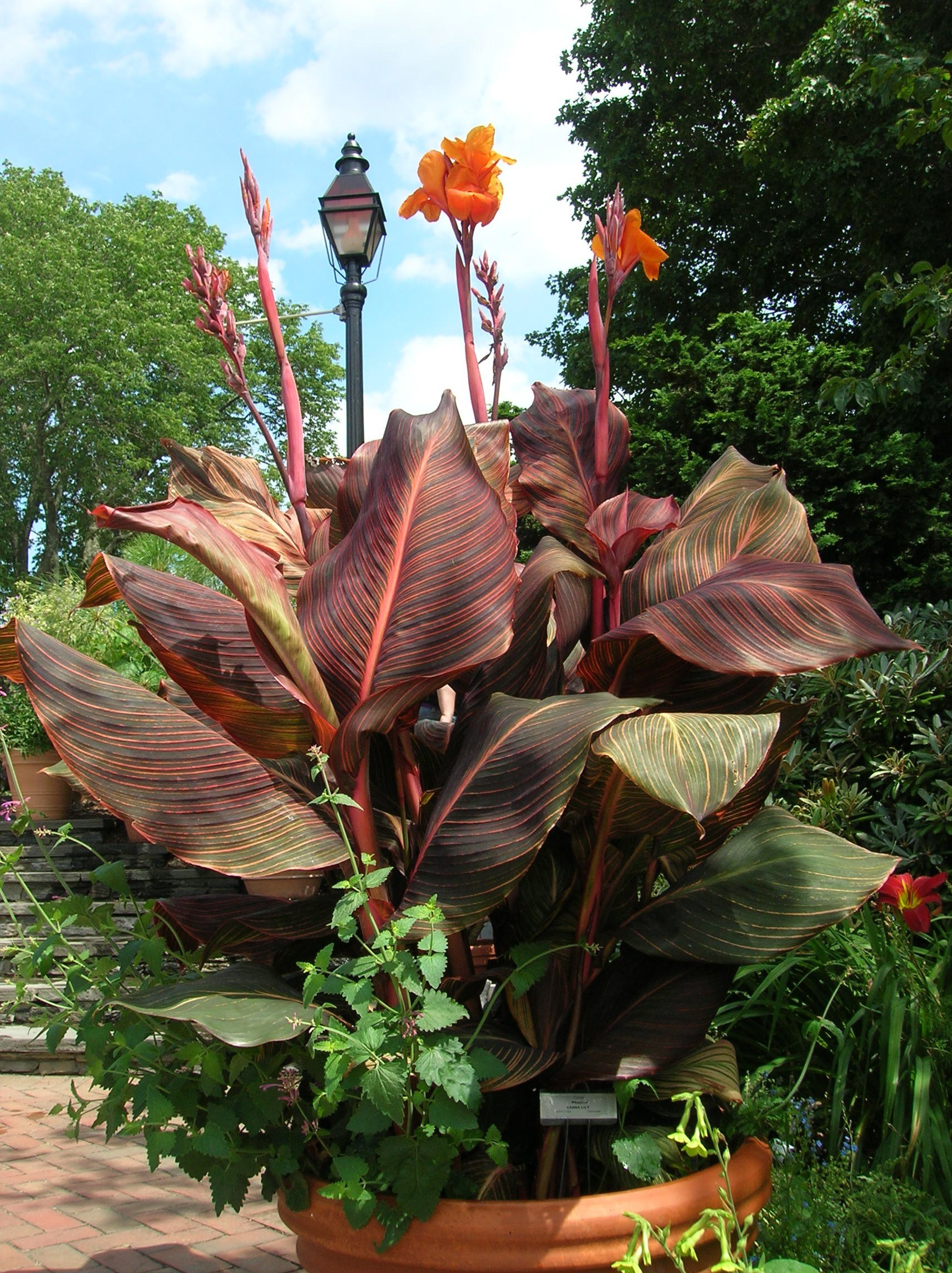 How to grow canna lilies growing and caring for canna lilies how to grow canna lilies izmirmasajfo Image collections