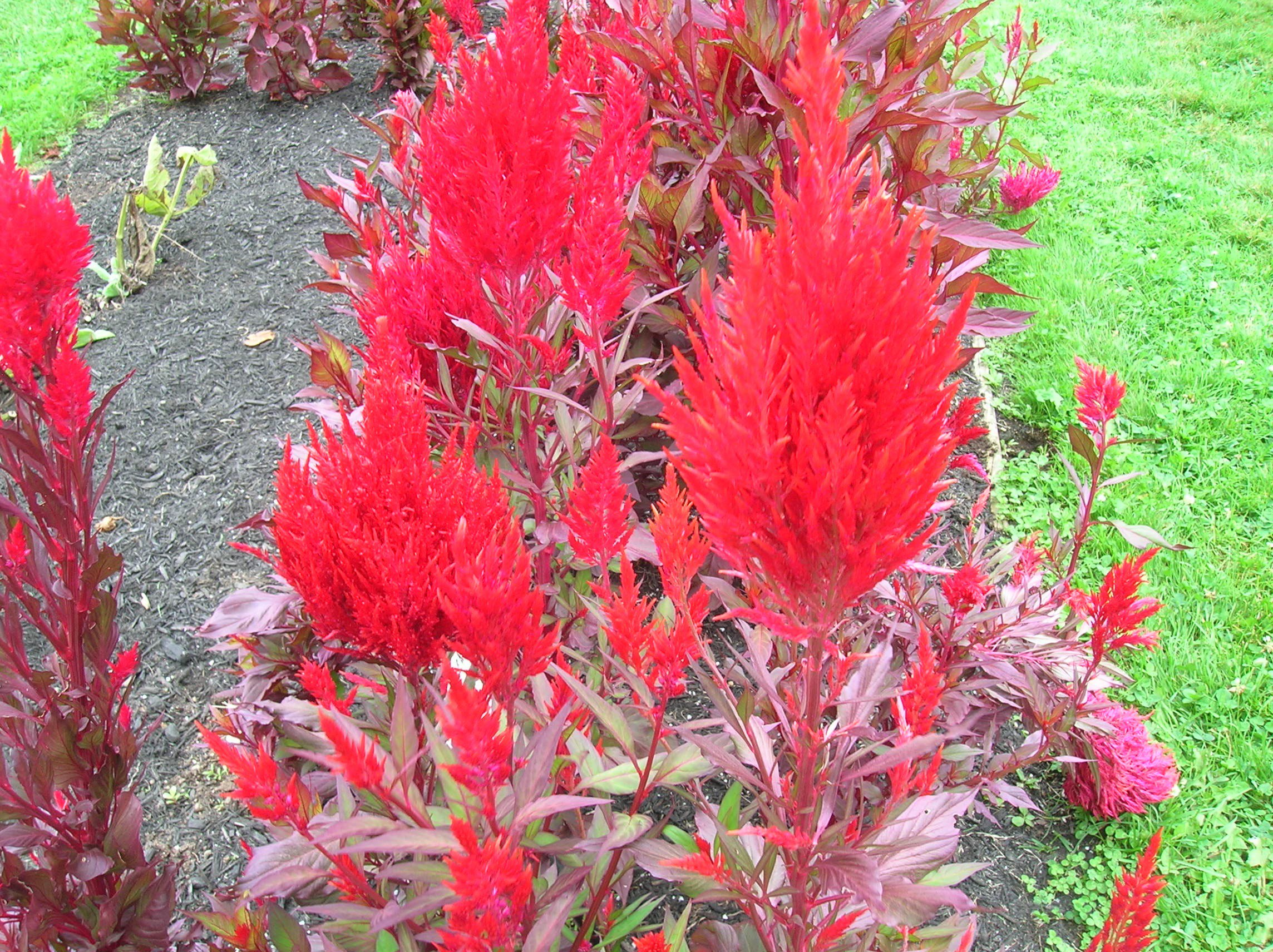 How to Grow Celosia gardening celosia growing celosia cocks b