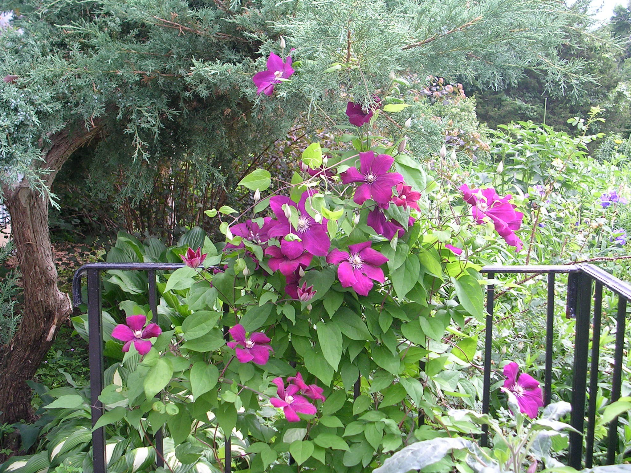 How To Grow Clematis Vine Growing And Caring For Clematis