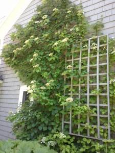 grow climbing hydrangea
