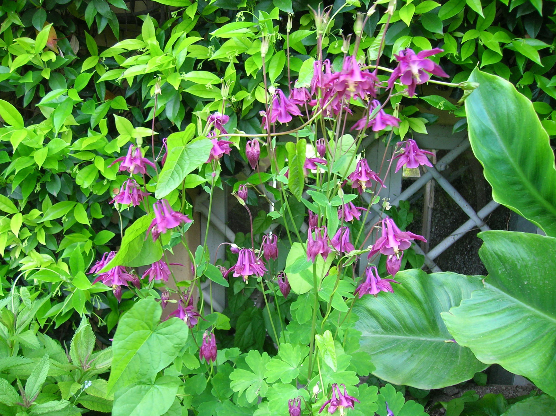How to grow columbine growing and caring for columbine aquilegia spp and hybrids columbine izmirmasajfo