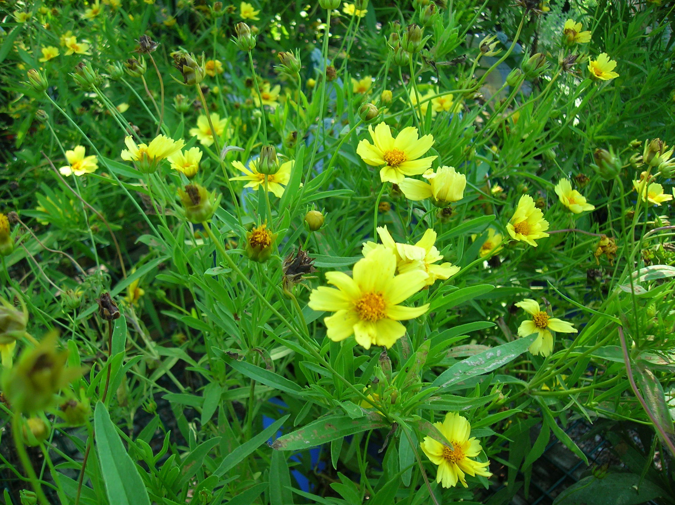 How To Grow Tickseed Growing And Caring For Coreopsis