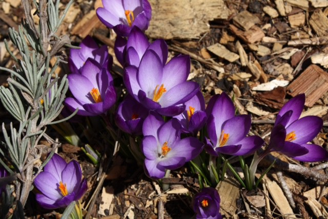 43698533d How to Grow  Crocus- Growing and Caring for Crocus