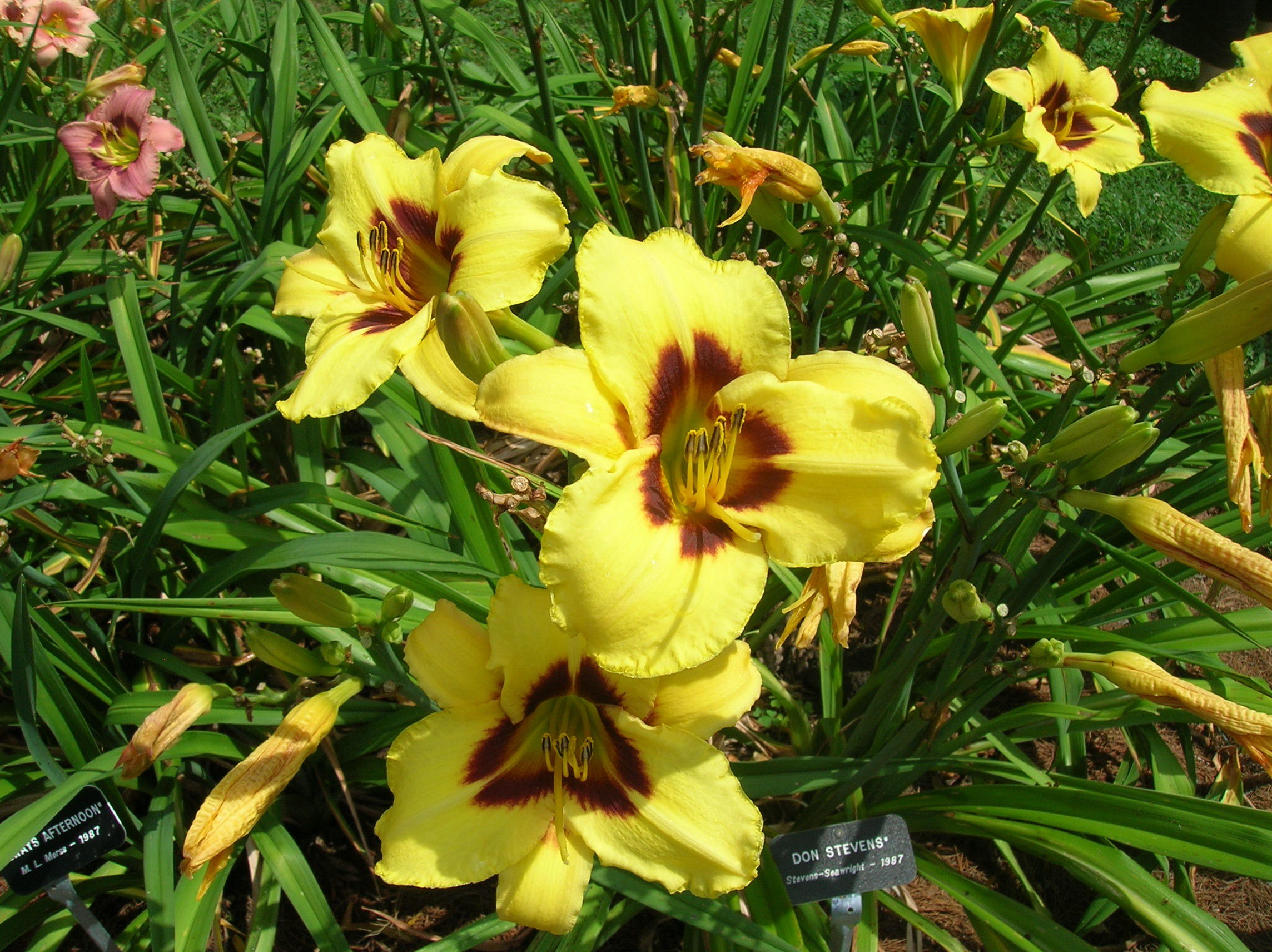 How To Grow Daylily Growing Adn Caring For Daylilies