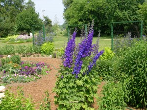 How To Grow Delphinium Growing And Caring For Delphiniums