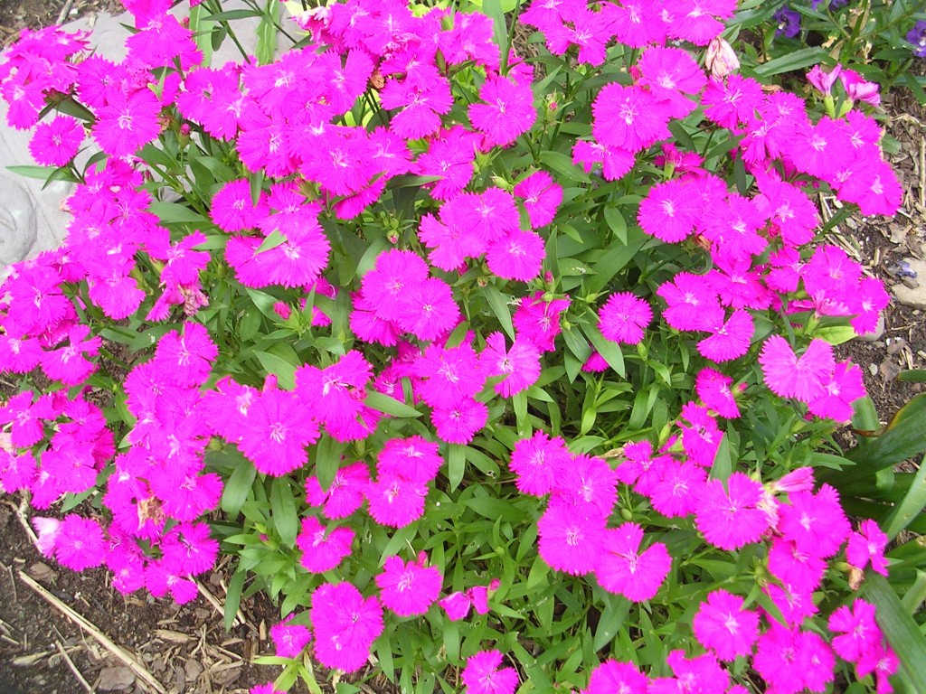 how to grow dianthus from cuttings